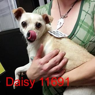 Chihuahua Mix Dog for adoption in Manassas, Virginia - Daisy