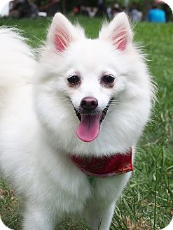 Spitz (Unknown Type, Small)/Pomeranian Mix Dog for adoption in San Mateo, California - Pamie
