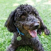 Adopt A Pet :: Coal - Malibu, CA