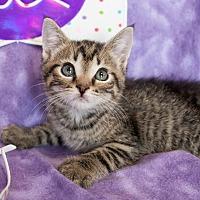 Adopt A Pet :: Tyler (Polydactyl) - Muskegon, MI