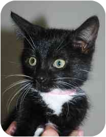 Domestic Shorthair Kitten for adoption in Walker, Michigan - Daisy