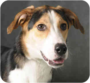 Foxhound/Collie Mix Dog for adoption in Chicago, Illinois - Max