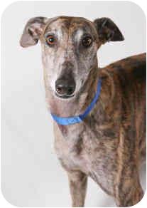 Greyhound Dog for adoption in West Palm Beach, Florida - Wish
