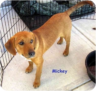 Beagle/Labrador Retriever Mix Puppy for adoption in Floyd, Virginia - Mickey - Peggy's Pup