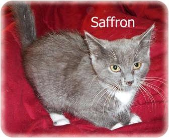 Domestic Shorthair Kitten for adoption in Brighton, Michigan - Saffron