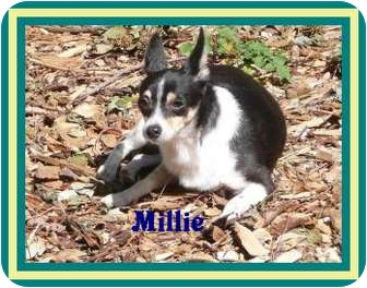 Chihuahua Mix Dog for adoption in Chester, Maryland - Millie