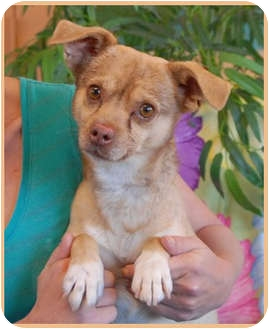 Chihuahua Dog for adoption in Las Vegas, Nevada - Goofy