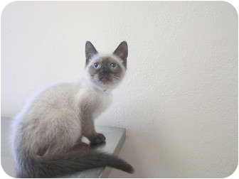 Himalayan Kitten for adoption in Bradenton, Florida - Spunky