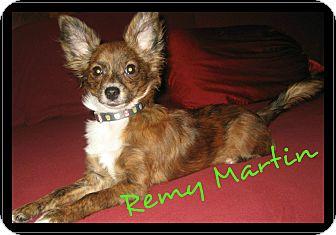 Papillon/Chihuahua Mix Puppy for adoption in Escondido, California - Remy Martin