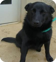 Schipperke Mix Dog for adoption in East Hartford, Connecticut - Joanie ADOPTION PENDING