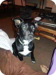 Labrador Retriever Mix Dog for adoption in Hancock, Michigan - Marla