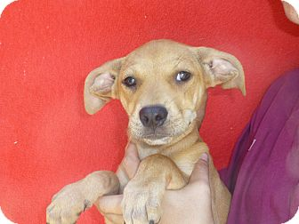 Beagle Mix Puppy for adoption in Oviedo, Florida - Skipper