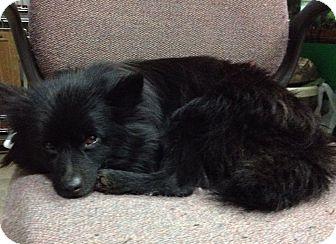 Pomeranian Dog for adoption in Kansas City, Missouri - Dude