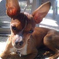 Adopt A Pet :: Mr. Wiggles URGENT NEED FOSTER - Lafayette, CA