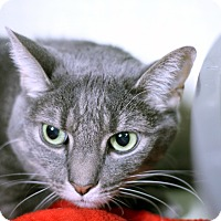 Adopt A Pet :: Silverfox - Chicago, IL