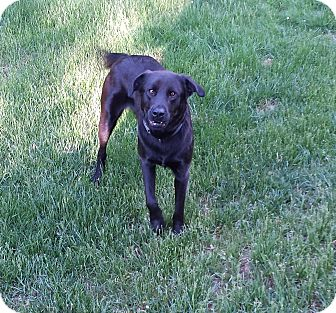 Labrador Retriever Mix Dog for adoption in East Hartford, Connecticut - Midnight in CT