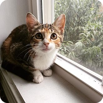 American Shorthair Kitten for adoption in Woonsocket, Rhode Island - Smitty