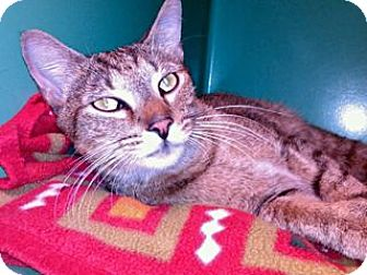 Domestic Shorthair Cat for adoption in Balto, Maryland - Yankee Doodle