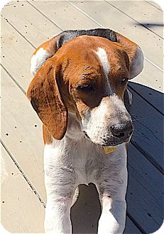Beagle/Hound (Unknown Type) Mix Dog for adoption in Houston, Texas - Cooper