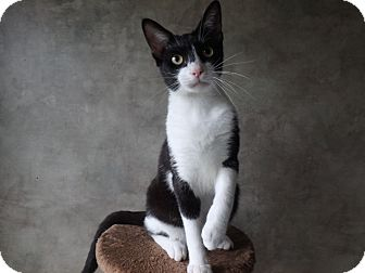 Domestic Shorthair Cat for adoption in Seguin, Texas - Dyson