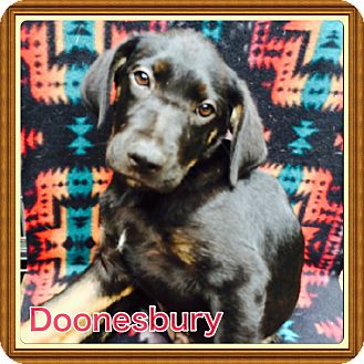 Shepherd (Unknown Type)/Labrador Retriever Mix Puppy for adoption in Brattleboro, Vermont - Doonesbury