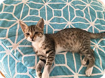 Domestic Shorthair Kitten for adoption in Mount Pleasant, South Carolina - Locklear