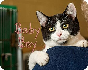 Domestic Shorthair Cat for adoption in Somerset, Pennsylvania - Baby Boy