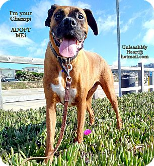 Boxer Dog for adoption in Hermosa, California - Boxer Champ
