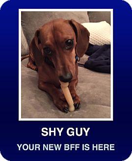 Dachshund Dog for adoption in Morrisville, Pennsylvania - Oscar Mayer