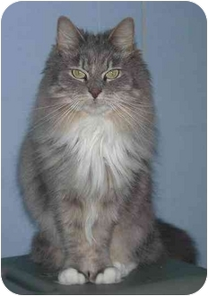 Maine Coon Cat for adoption in Lincoln, Nebraska - Mouf