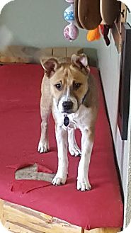 Cattle Dog Mix Puppy for adoption in Colorado Springs, Colorado - Nessie