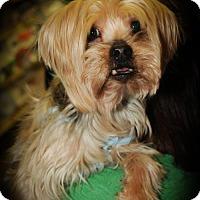 Yorkie, Yorkshire Terrier Dog for adoption in N. Babylon, New York - Brody