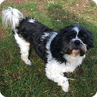 "Shih Tzu Dog for adoption in Seattle, Washington - ""Potter"""