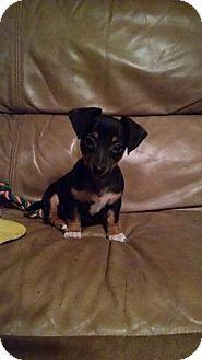 Chihuahua/Dachshund Mix Puppy for adoption in Washington, D.C. - Valentine
