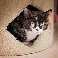 Calico Cat for adoption in Pryor, Oklahoma - Trixy