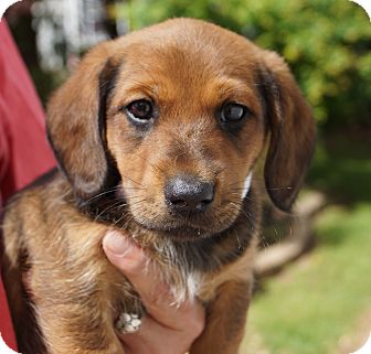 Dachshund Mix Puppy for adoption in West Nyack, New York - Selah