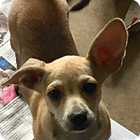 Boston Terrier/Chihuahua Mix Puppy for adoption in Fishkill, New York - LITTLE LEON