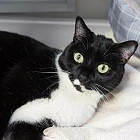 Domestic Shorthair Cat for adoption in Raleigh, North Carolina - Erato