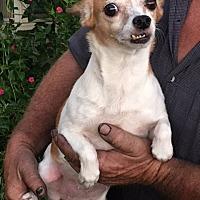 Adopt A Pet :: Ginger - Ardmore, OK