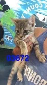Domestic Shorthair/Domestic Shorthair Mix Cat for adoption in Kiln, Mississippi - ROGER