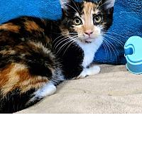 Domestic Shorthair Kitten for adoption in Waldorf, Maryland - Rapunzel