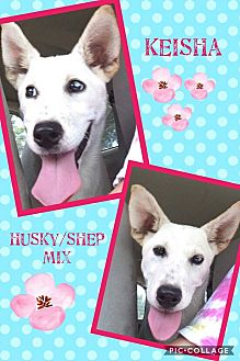 Husky/German Shepherd Dog Mix Puppy for adoption in Ringwood, New Jersey - Keisha