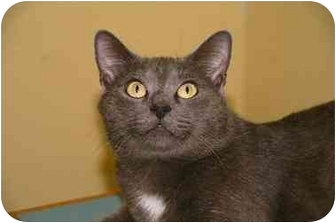 Domestic Shorthair Cat for adoption in Englewood, Florida - Charlie