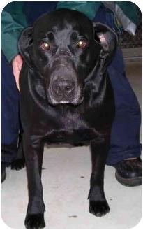 Labrador Retriever/Retriever (Unknown Type) Mix Dog for adoption in Somerset, Pennsylvania - Gracie