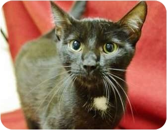 Domestic Shorthair Cat for adoption in Ladysmith, Wisconsin - Ori