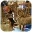 Photo 2 - Chihuahua Mix Dog for adoption in Troy, Michigan - Brando