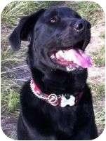 Labrador Retriever/Golden Retriever Mix Dog for adoption in Torrance, California - Jet