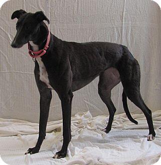Greyhound Dog for adoption in Swanzey, New Hampshire - Beanie