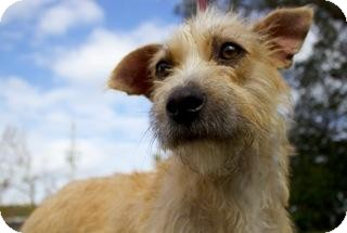 Terrier (Unknown Type, Medium) Mix Dog for adoption in Gainesville, Florida - Tracy
