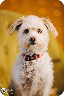 Poodle (Miniature)/Wheaten Terrier Mix Dog for adoption in Portland, Oregon - Prince